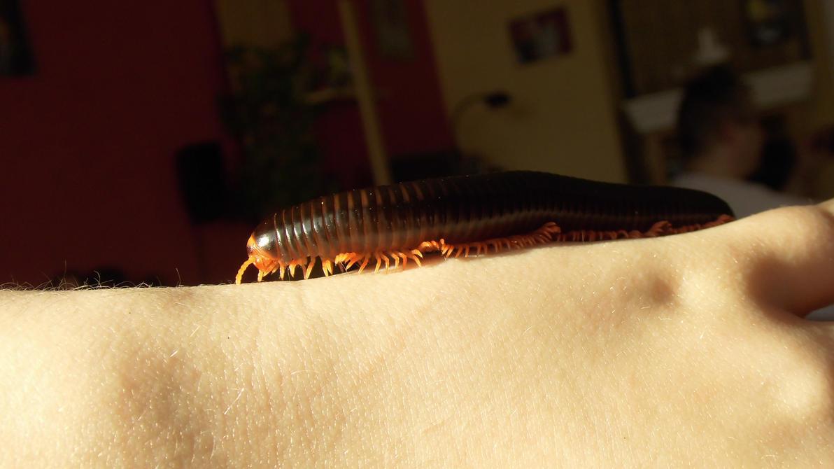 Meine Füßer und Käfer Epibolus_pulchripes_in_sunlight_4_by_op_girl16-d8lerpm