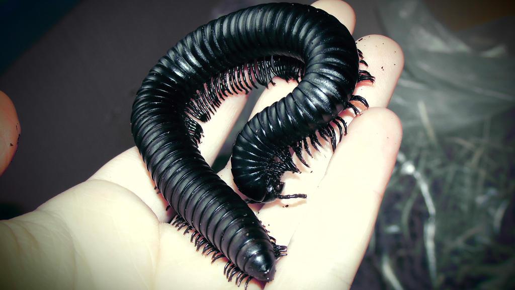 Meine Füßer und Käfer - Seite 3 Black_millipede_2_by_op_girl16-d8wlifp