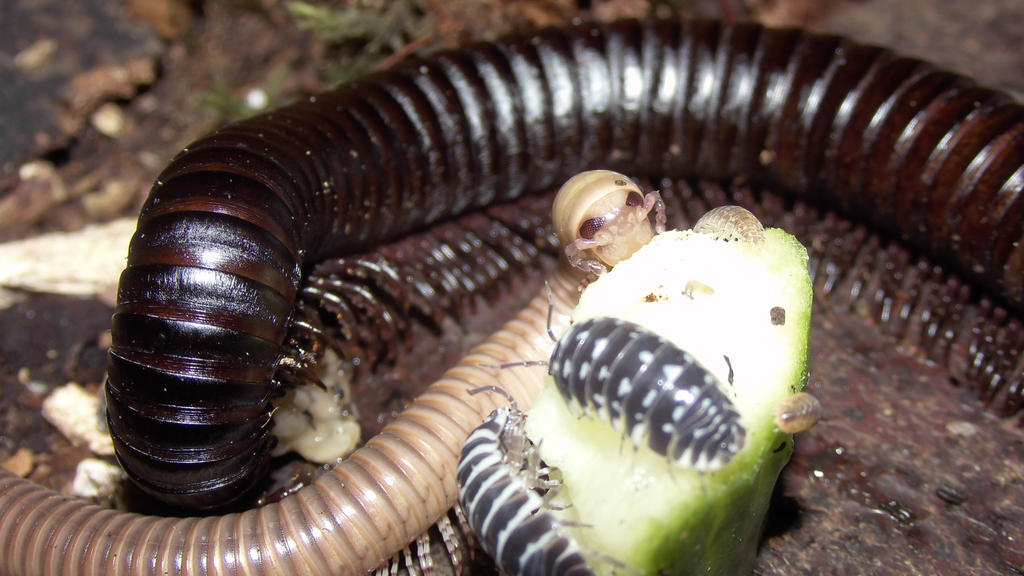 Meine Füßer und Käfer - Seite 3 Millipedes_6_by_op_girl16-d900vs8