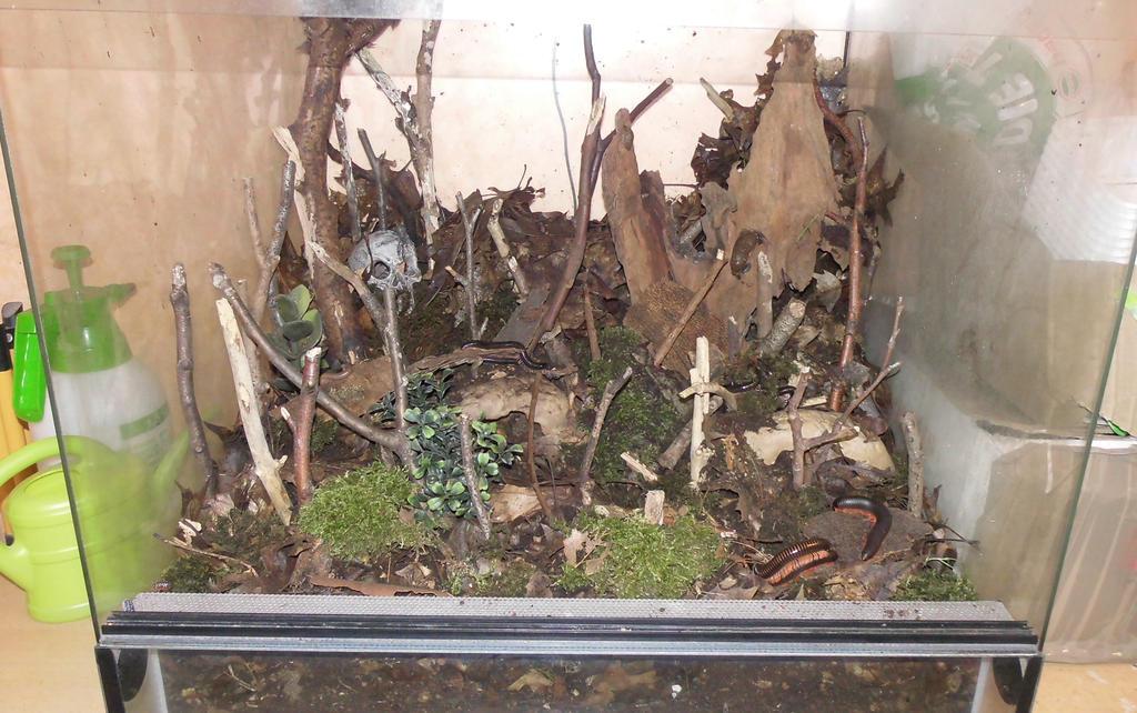 Meine Füßer und Käfer - Seite 3 Big_millipede_terrarium_2_by_op_girl16-d91idhk