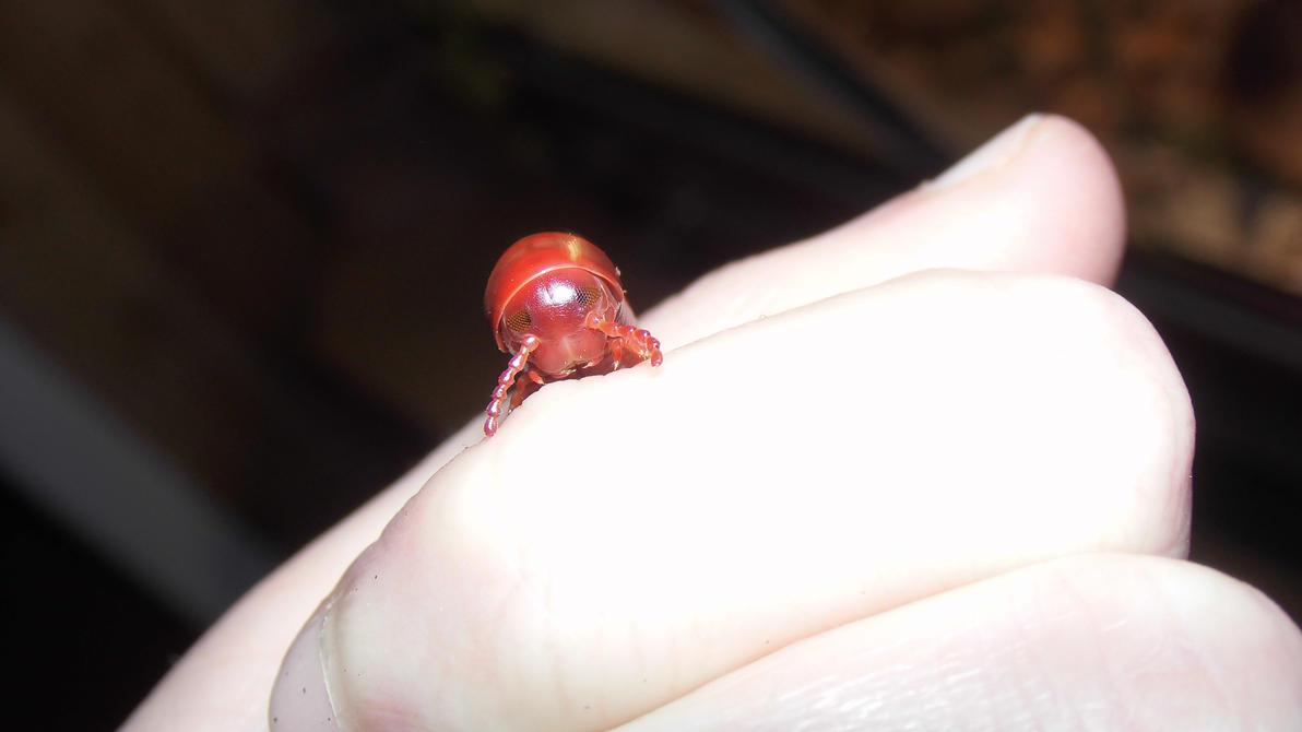 Meine Füßer und Käfer - Seite 5 Little_red_millipede__2__by_op_girl16-d9jv15x