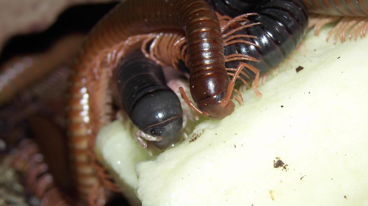 Meine Füßer und Käfer - Seite 6 Dendrostreptus_macracanthus___spirostreptus_spec_5_by_op_girl16-d9xpa3f