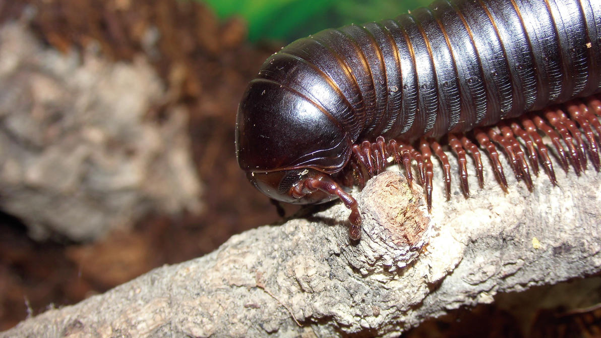 Meine Füßer und Käfer - Seite 6 Archispirostreptus_gigas__3__by_op_girl16-da1h041