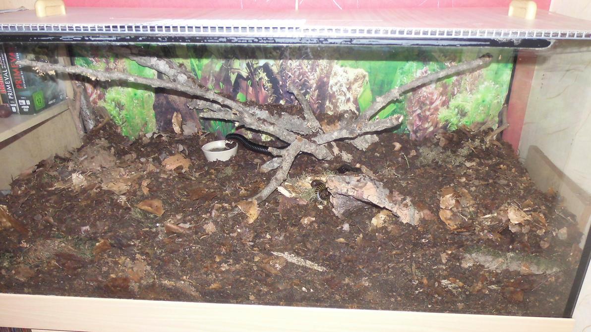 Meine Füßer und Käfer - Seite 6 Giant_millipede_terrarium__2__by_op_girl16-da1h10p