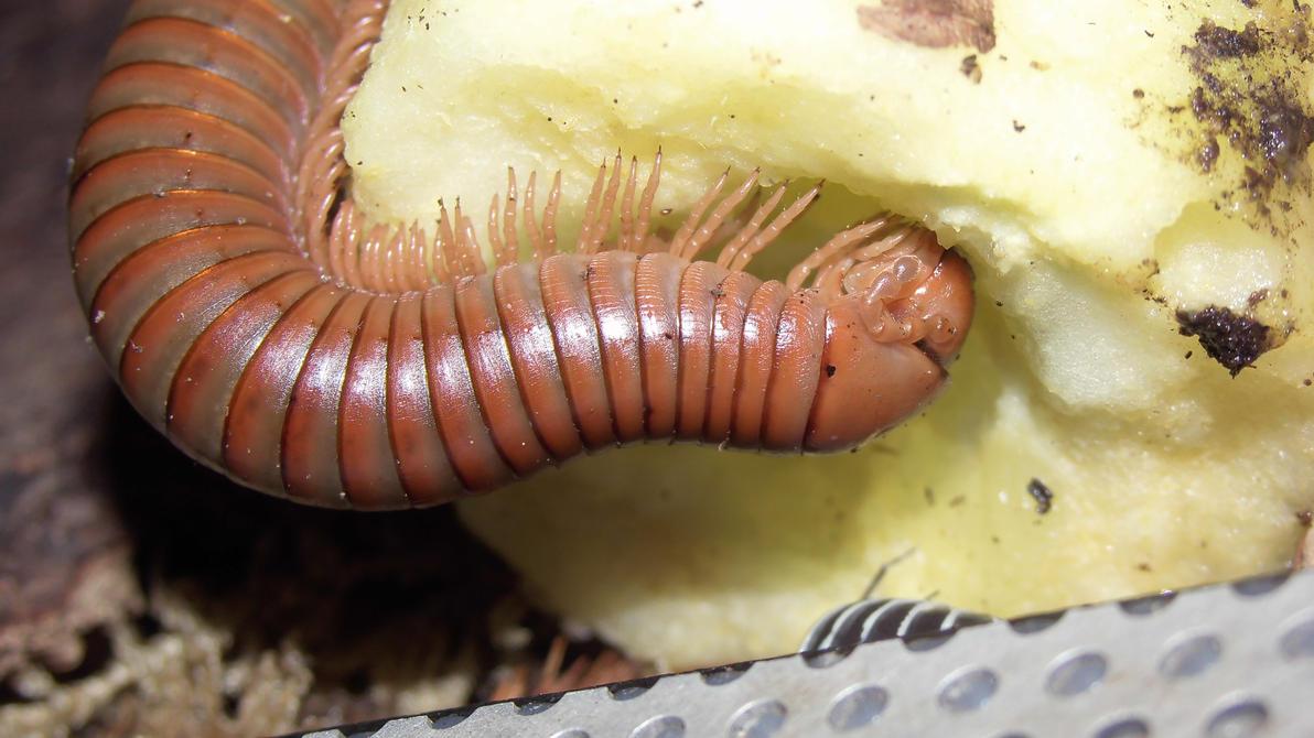 Meine Füßer und Käfer - Seite 6 Spirostreptus_spec_1__8__by_op_girl16-da9yk11