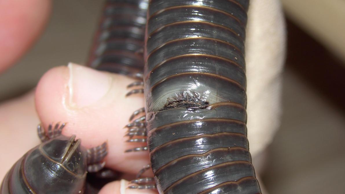 Meine Füßer und Käfer - Seite 6 Poor_millipede_by_op_girl16-da9yk7k