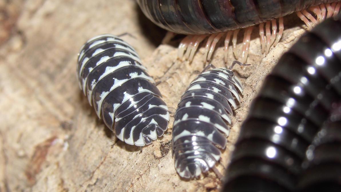Meine Füßer und Käfer - Seite 6 Armadillidium_maculatum__5__by_op_girl16-dabfxur