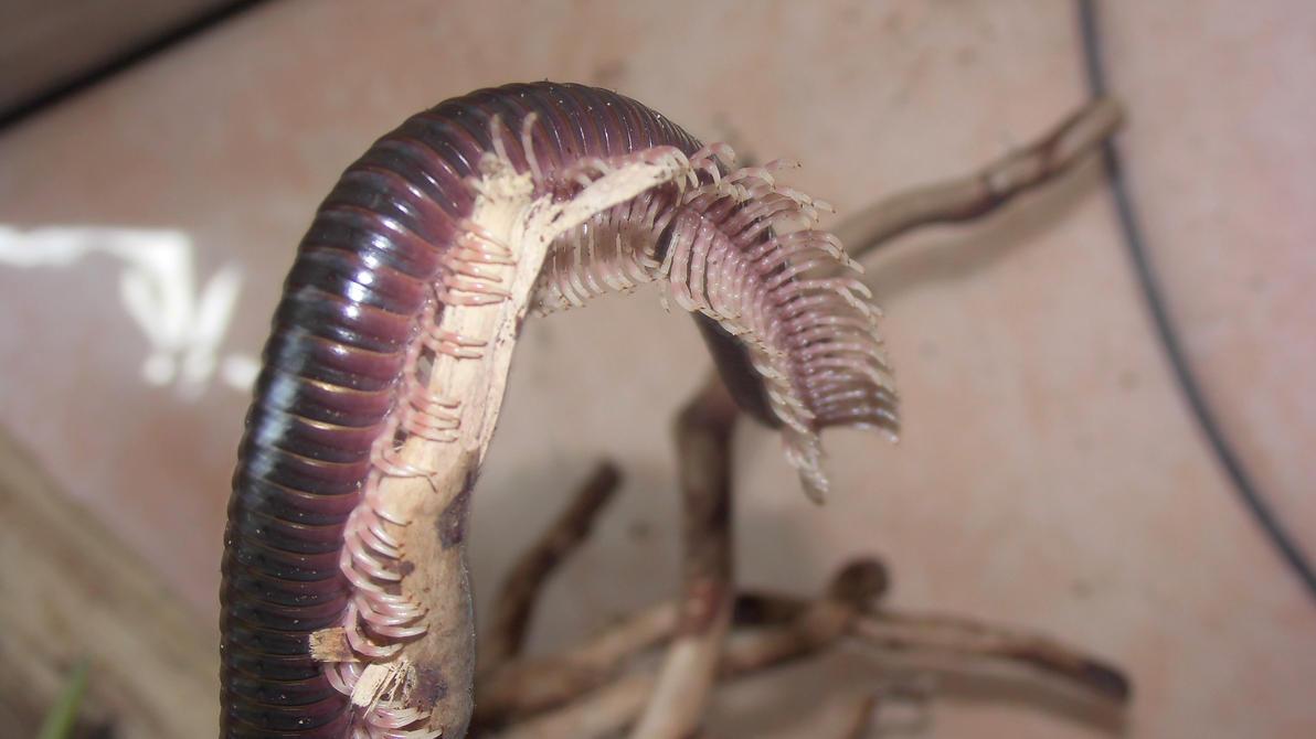 Meine Füßer und Käfer - Seite 6 Dendrostreptus_macracanthus__23__by_op_girl16-dae9mmq