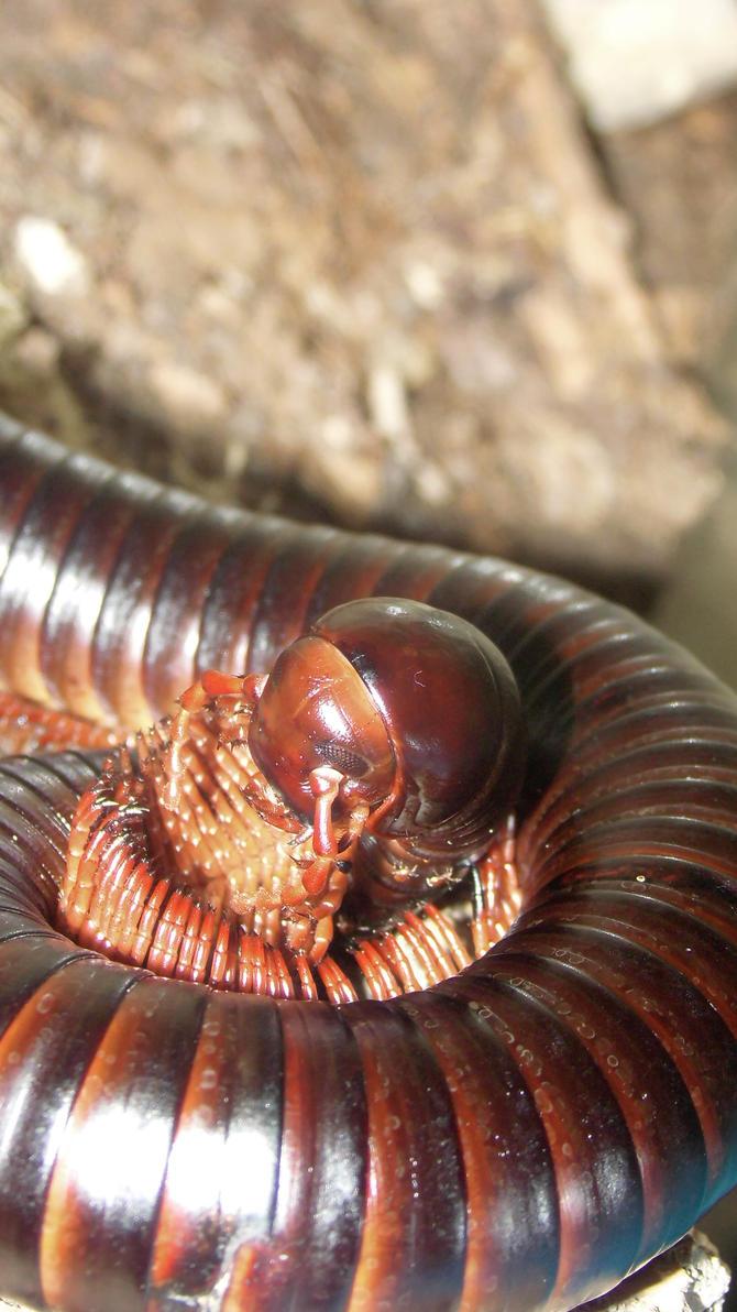 Meine Füßer und Käfer - Seite 6 Archispirostreptus_gigas__17__by_op_girl16-dah5f4i