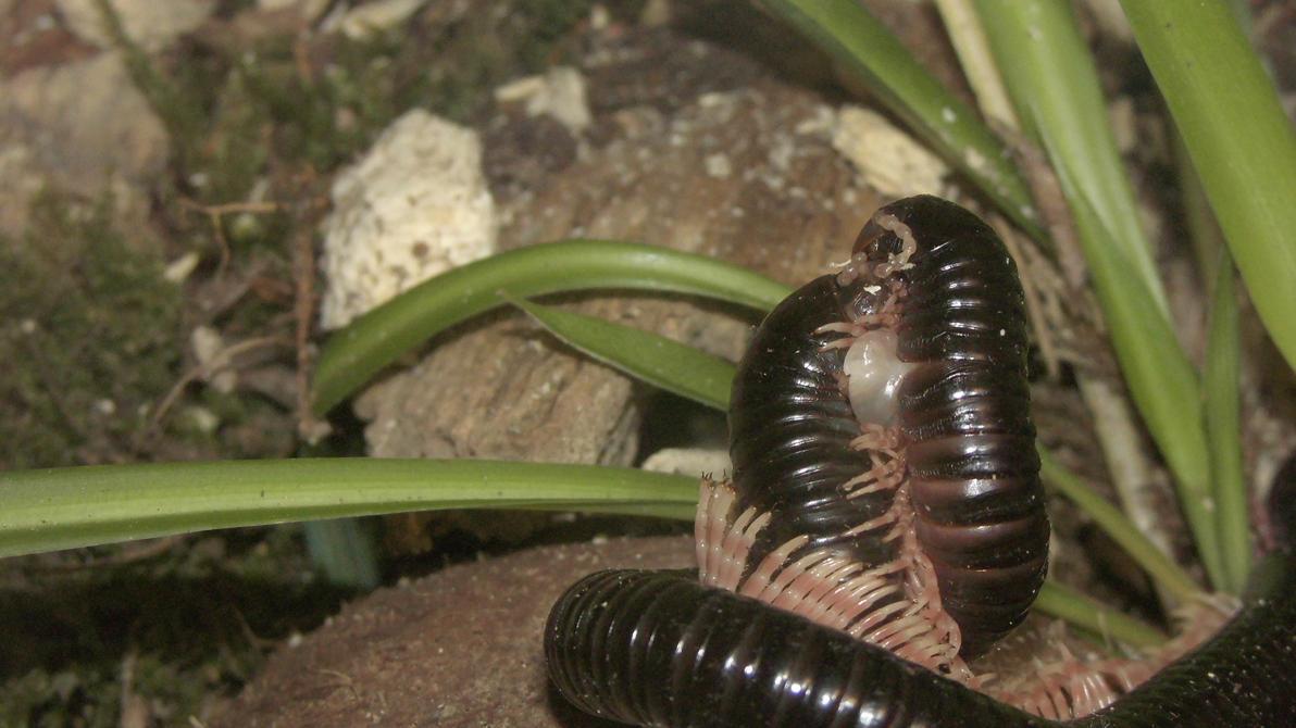 Meine Füßer und Käfer - Seite 6 Dendrostreptus_macracanthus_in_love__2__by_op_girl16-dan5eot