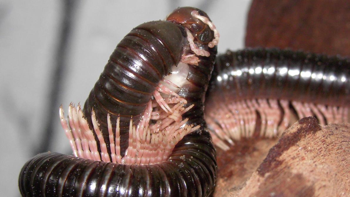 Meine Füßer und Käfer - Seite 6 Dendrostreptus_macracanthus_in_love__3__by_op_girl16-datotm2