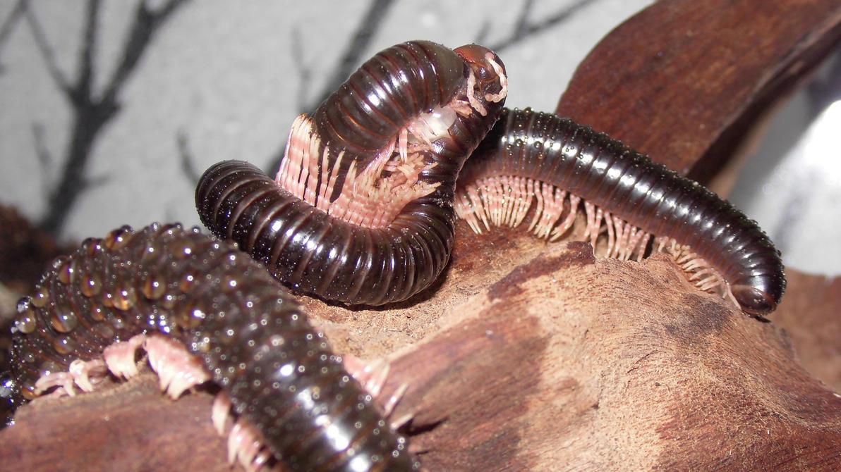 Meine Füßer und Käfer - Seite 6 Dendrostreptus_macracanthus_in_love__4__by_op_girl16-datoubj