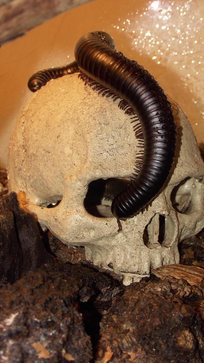 Meine Füßer und Käfer - Seite 6 Skull_and_millipede_by_op_girl16-datow25