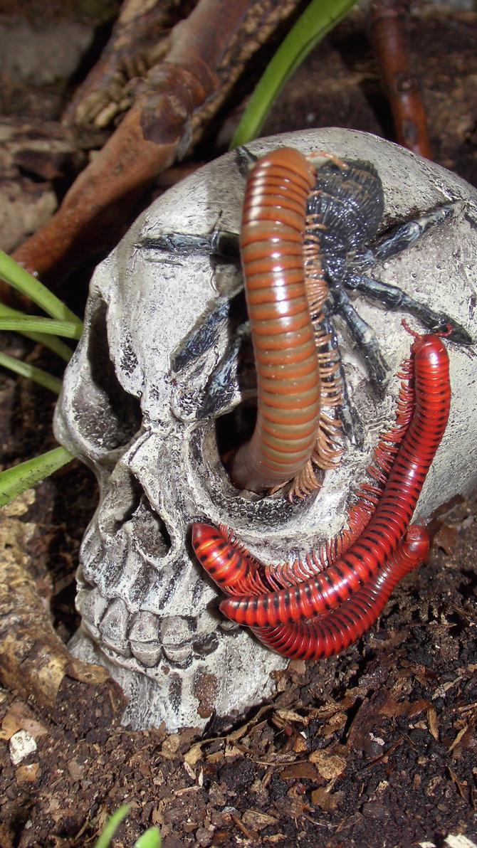 Meine Füßer und Käfer - Seite 6 Skull_and_millipede__2__by_op_girl16-datowj8