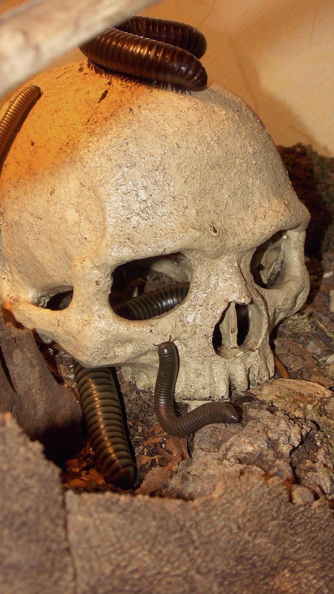 Meine Füßer und Käfer - Seite 6 Skull_and_millipedes__3__by_op_girl16-datp3cp