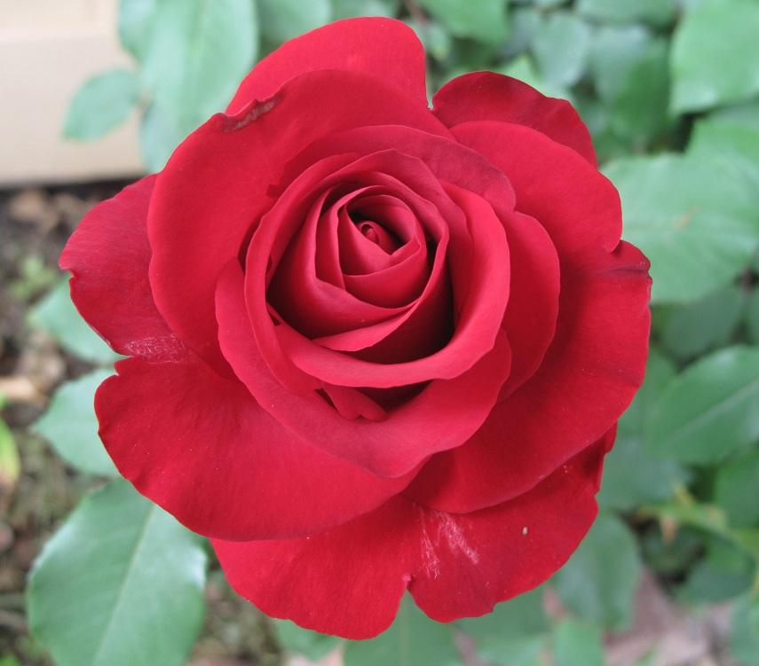 Red rose macro closeup