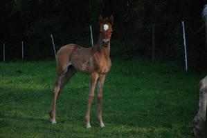 Foal 02 by rosemontstock