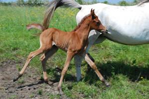 Foal 05 by rosemontstock