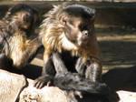 Sad Monkey Stock