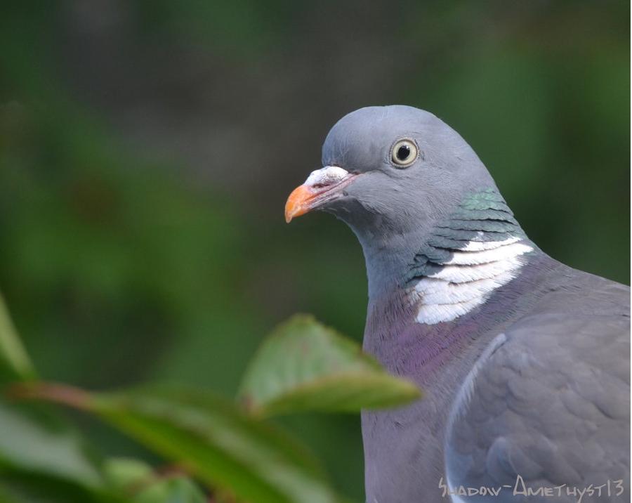 Pigeon by Shadow-Amethyst13