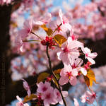 Cherry Blossom Cherry Blossoms by Zeitwolf