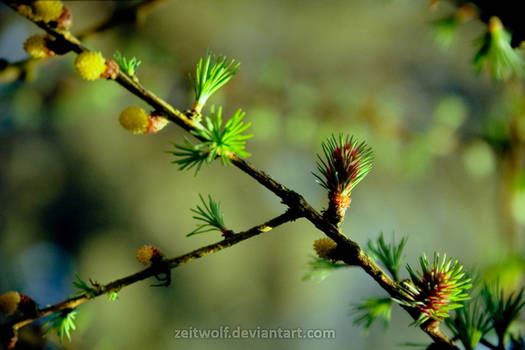 film. The Larch in Bloom