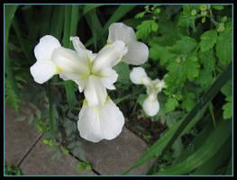 Iris by willowleaf
