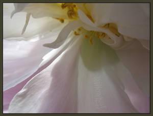 veil of softness