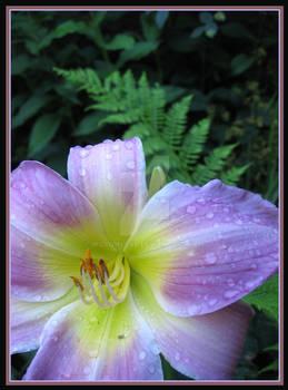 daylily fern