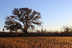 Oak at Sunset by Delijume