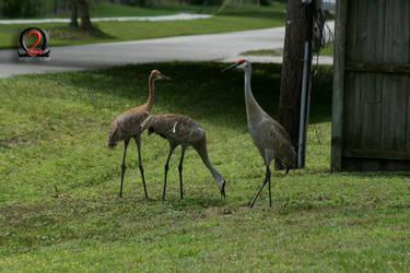 Sandhill Cranes 1 by wolfetrap