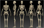 Human Skeleton Study