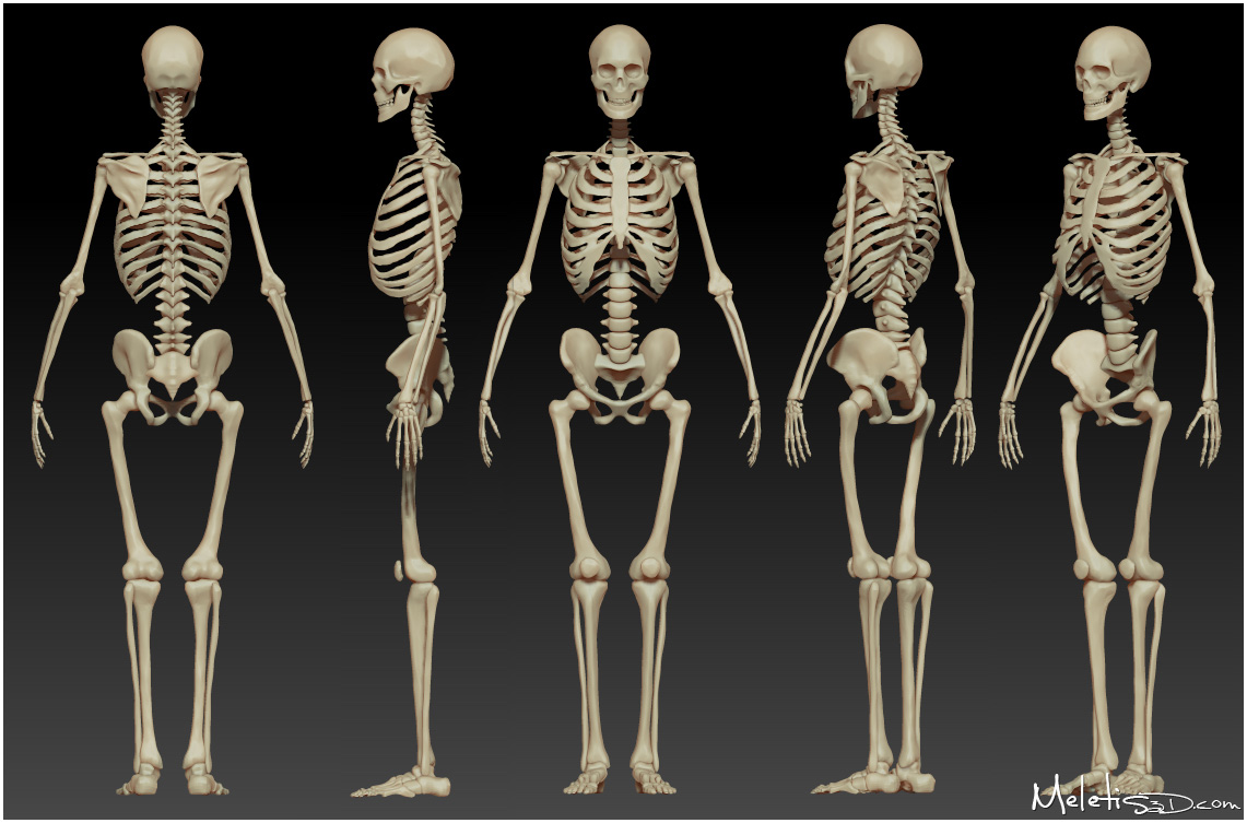human skeleton study by meletis on deviantart, Skeleton