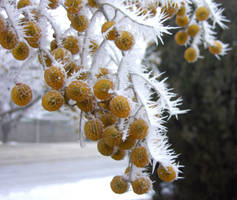 Thorns of Ice