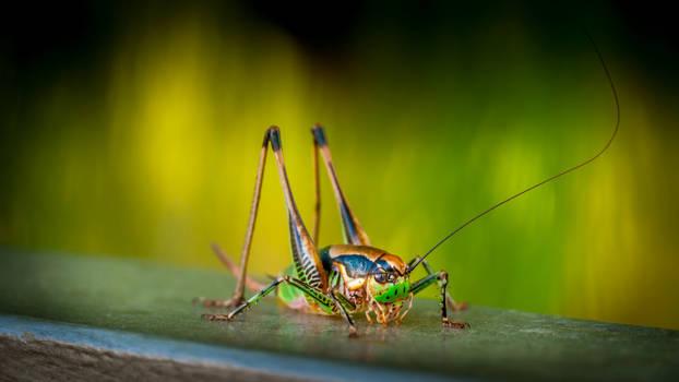 Grasshopper (2010)