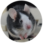 Piebald Fancy Mouse by AnnieStash