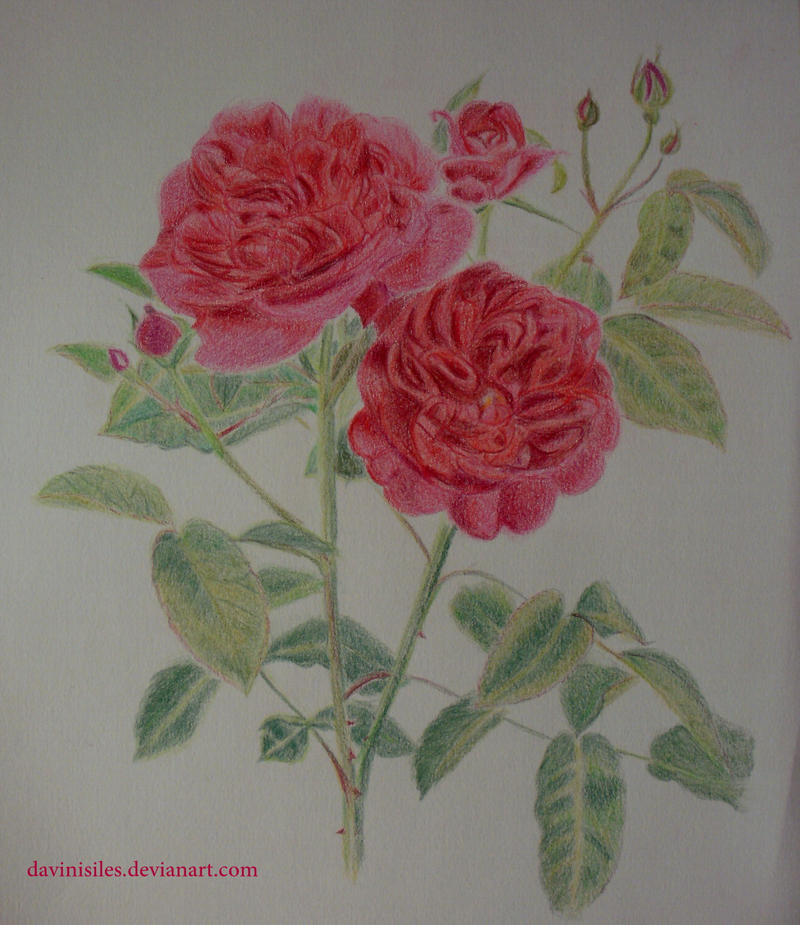 English Rose - Darcey Russell by daviniasiles