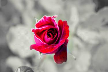 rose by ta1setsu