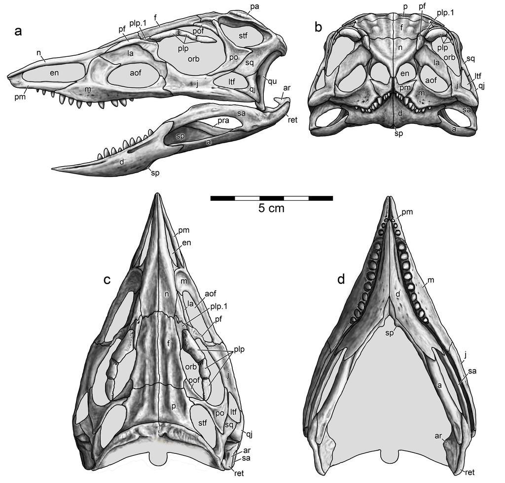 Stenomyti skull reconstruction by Typothorax