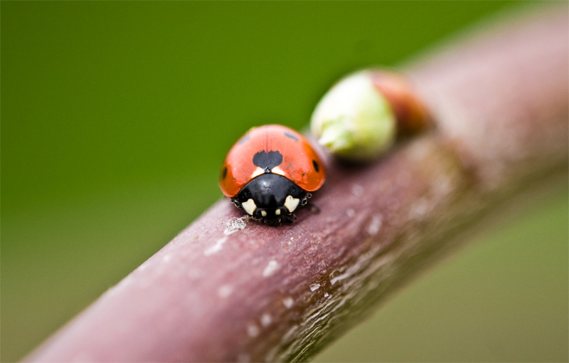 Lady bug by ervin21