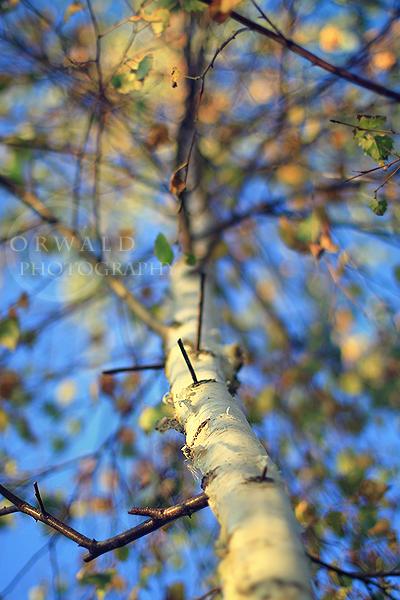 magic birch by Orwald
