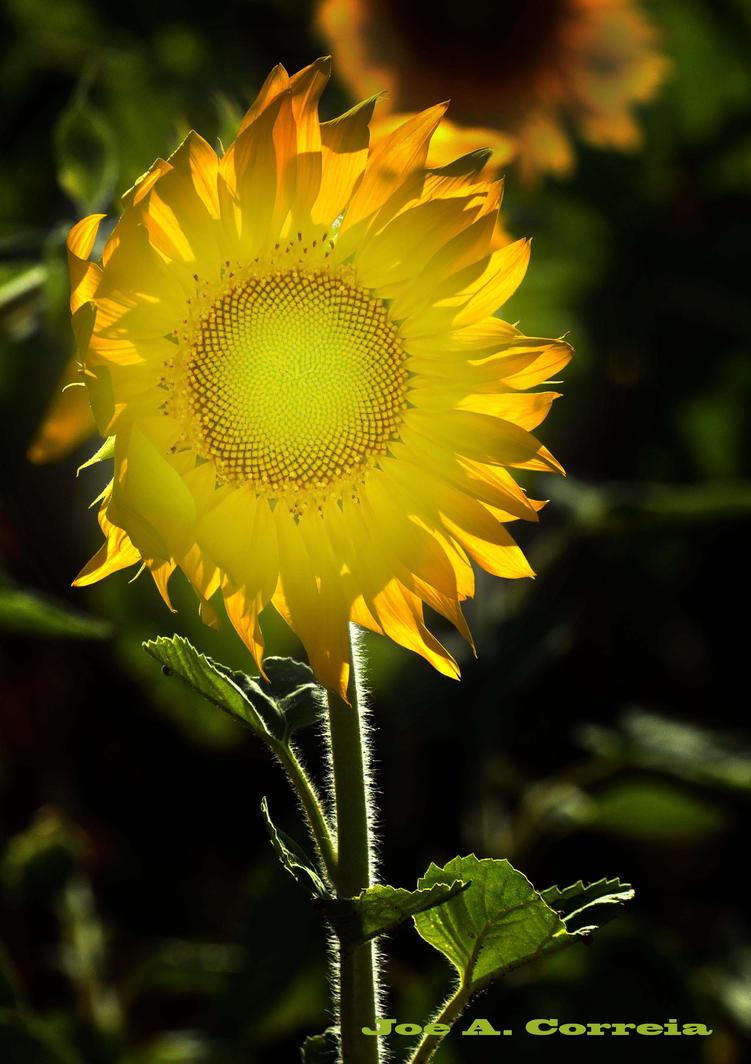 SUNNY FLOWER by JoeCorreia