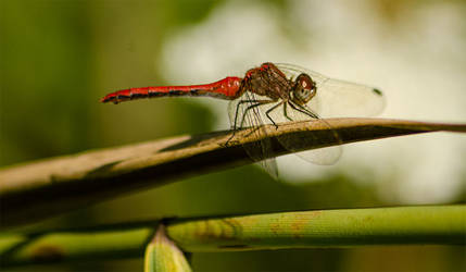 2019-08-23-Crosswinds Red Dragonfly