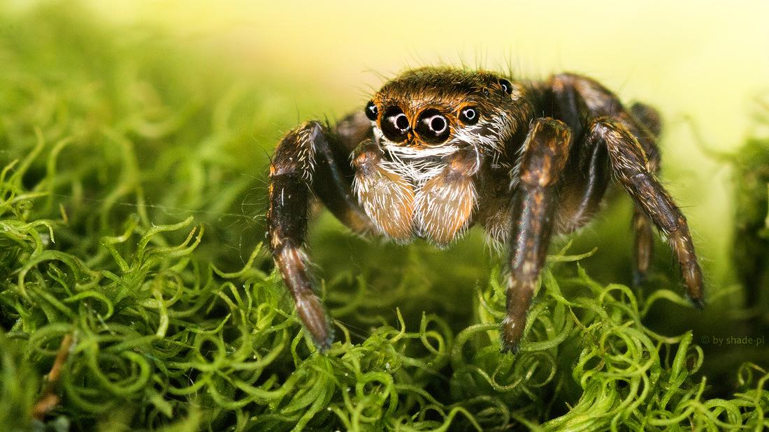eyes of arachnophobia by shade-pl