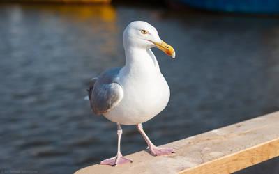 Herring gull by shade-pl