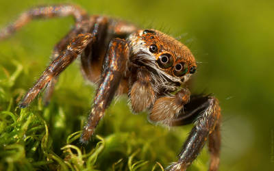 Jumping spider II by shade-pl