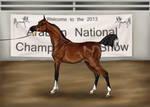 Arabian Nationals Halter Show