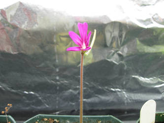 Pinguicula moranensis flower 2 by Xython