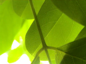 leaves are green