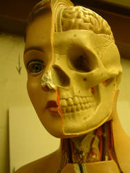 head cut away model